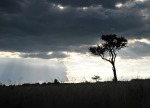 Pretty silhouette of Acacia tree at Maasai Mara