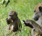 Young baboon eating