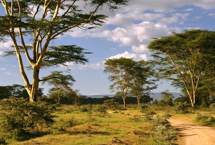 Acaciaa's in the afternoon sun at Lake Nukuru