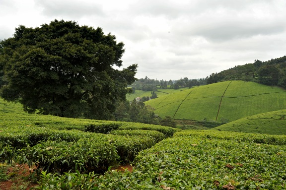 Tea Fields