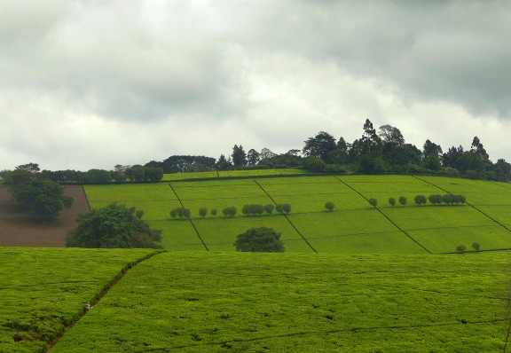Perfectly sectioned tea fields