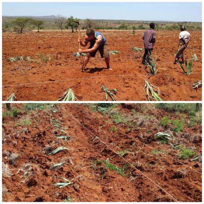 Planting the sisal garden